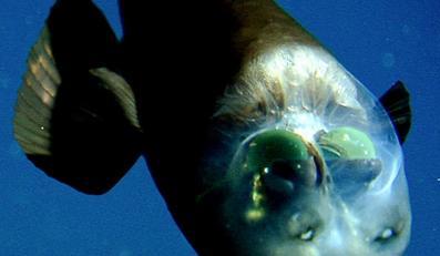 Ta ryba widzi przez czaszkę