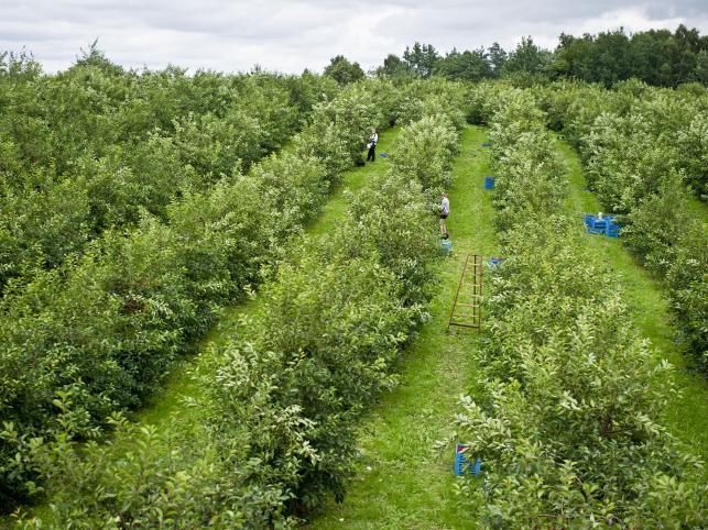 Skowieszynek, zbiór wiśni w lubelskich sadach