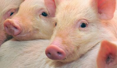 Niezwykle niebezpieczna dla zwierząt choroba zbliża się do granic Polski