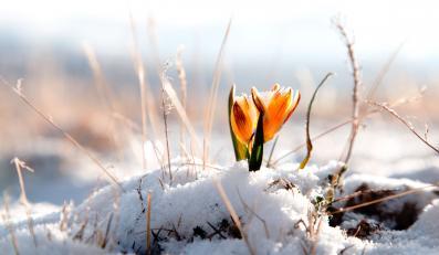wiosna śnieg odwilż kwiat