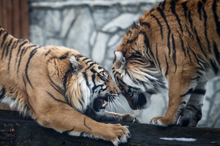 Na zdjęciu archiwalnym z 05.04.2013r. tygrysy sumatrzańskie na wybiegu we wrocławskim ZOO